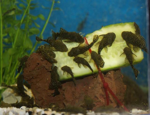 Quelle nourriture donner a son poisson p 2 for Donner poisson