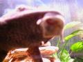 Hypostomus plecostomus 3.jpg