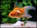 Oranda.jpg