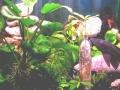Hypostomus plecostomus 5.jpg