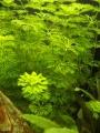 Limnophila sessiliflora.jpg