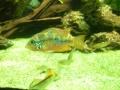 Un thorichthys aureus, cichlidé d'Amerique centrale.JPG